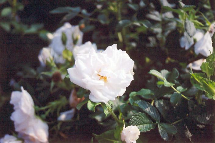Blanc Double de Coubert Rose (Rosa 'Blanc Double de Coubert') at All Seasons Nursery