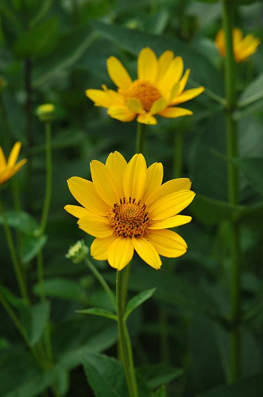 Sunflower (Heliopsis helianthoides) at All Seasons Nursery