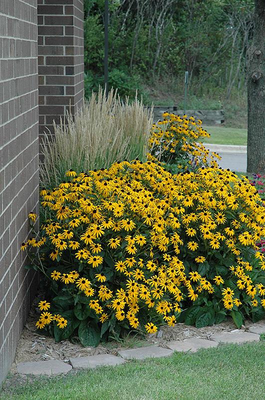 Goldsturm Coneflower (Rudbeckia fulgida 'Goldsturm') at All Seasons Nursery