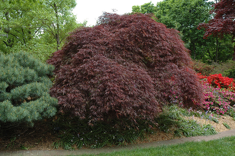 Red Select Cutleaf Japanese Maple (Acer palmatum 'Dissectum Red Select') at All Seasons Nursery