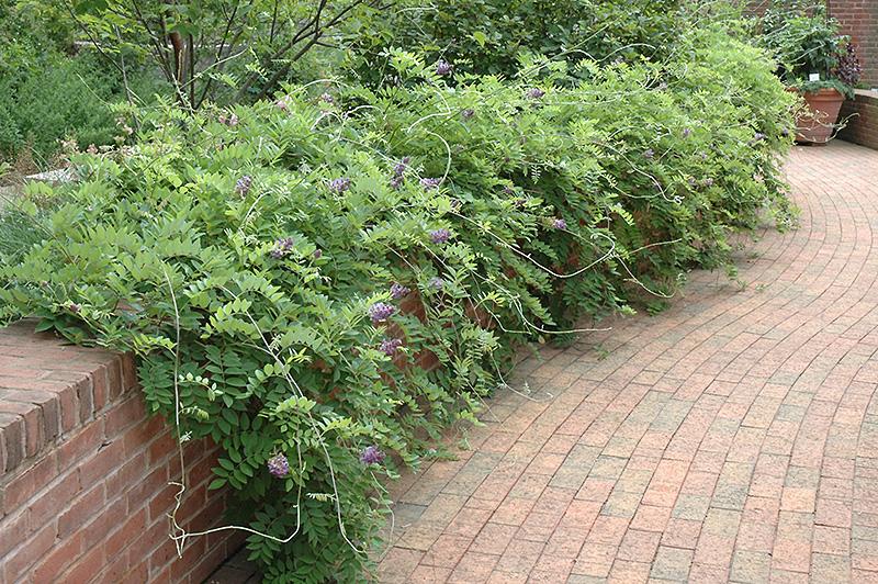 Amethyst Falls Wisteria (Wisteria frutescens 'Amethyst Falls') at All Seasons Nursery