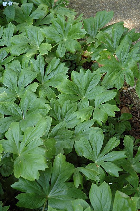 Japanese Ardisia (Ardisia japonica) at All Seasons Nursery
