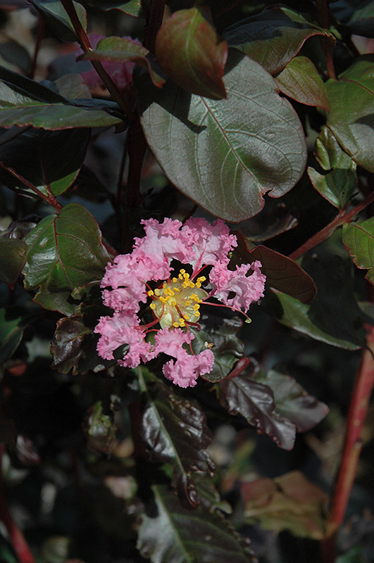 Rhapsody In Pink Crapemyrtle (Lagerstroemia indica 'Whit VIII') at All Seasons Nursery
