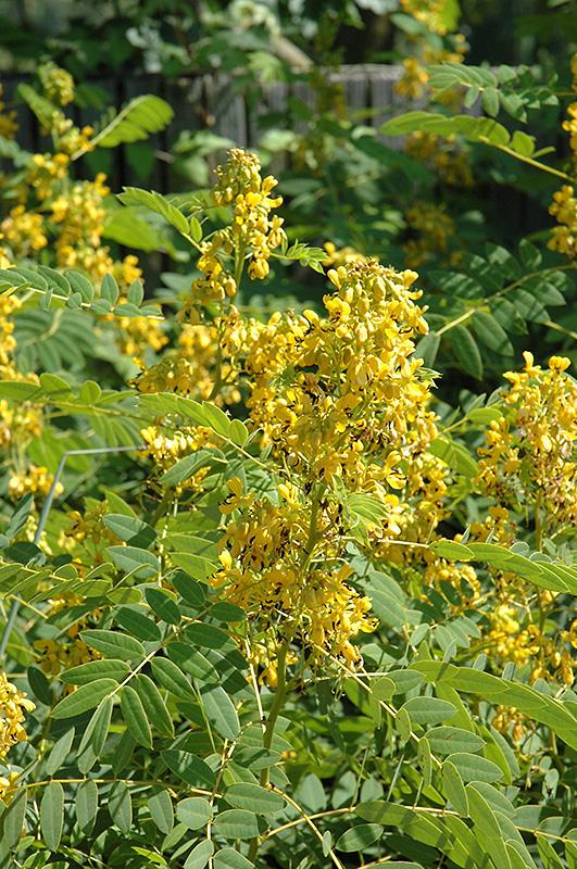 Wild Senna (Cassia marilandica) at All Seasons Nursery