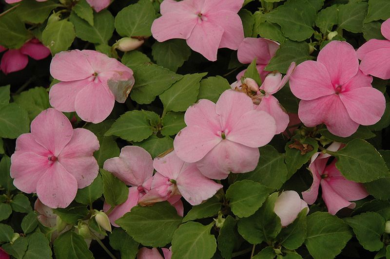 Super Elfin Deep Pink Impatiens (Impatiens walleriana 'Super Elfin Deep Pink') at All Seasons Nursery
