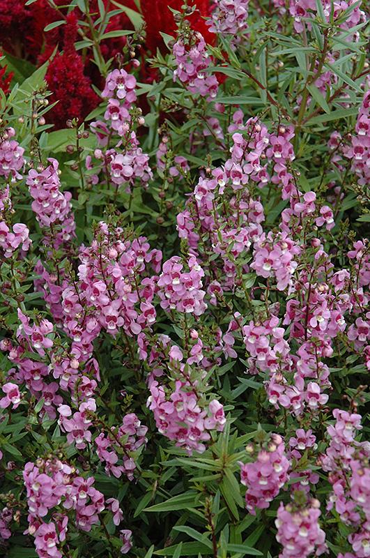 Serena Lavender Pink Angelonia (Angelonia angustifolia 'Serena Lavender Pink') at All Seasons Nursery