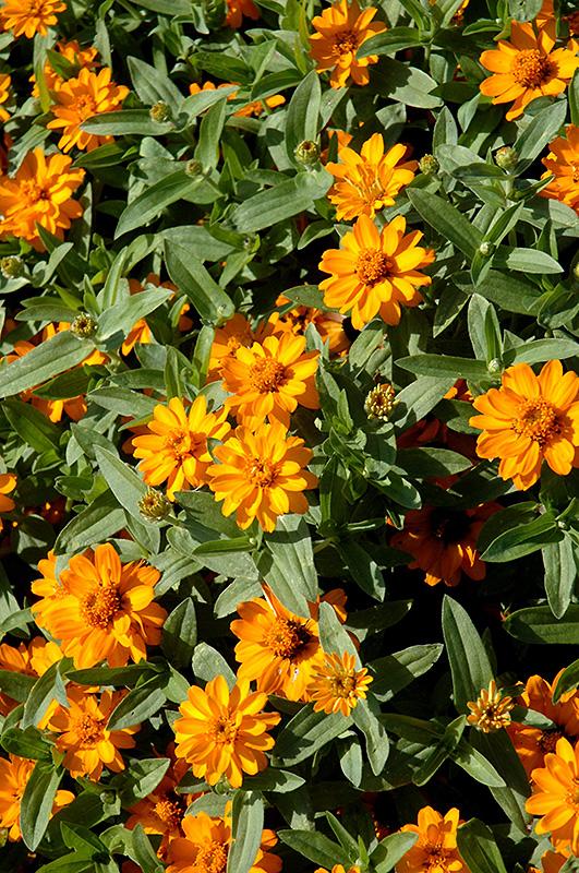 Profusion Double Golden Zinnia (Zinnia 'Profusion Double Golden') at All Seasons Nursery
