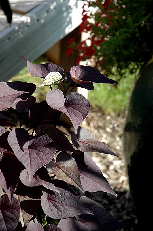 Sidekick Black Heart Sweet Potato Vine (Ipomoea batatas 'Sidekick Black Heart') at All Seasons Nursery