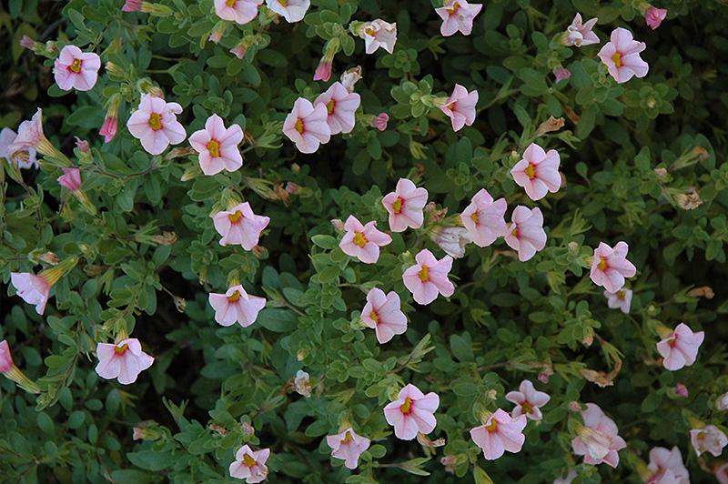 Superbells Cherry Blossom Calibrachoa (Calibrachoa 'Superbells Cherry Blossom') at All Seasons Nursery
