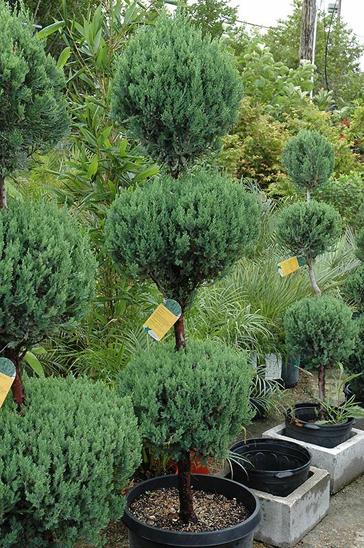 Blue Point Juniper (Juniperus chinensis 'Blue Point') at All Seasons Nursery