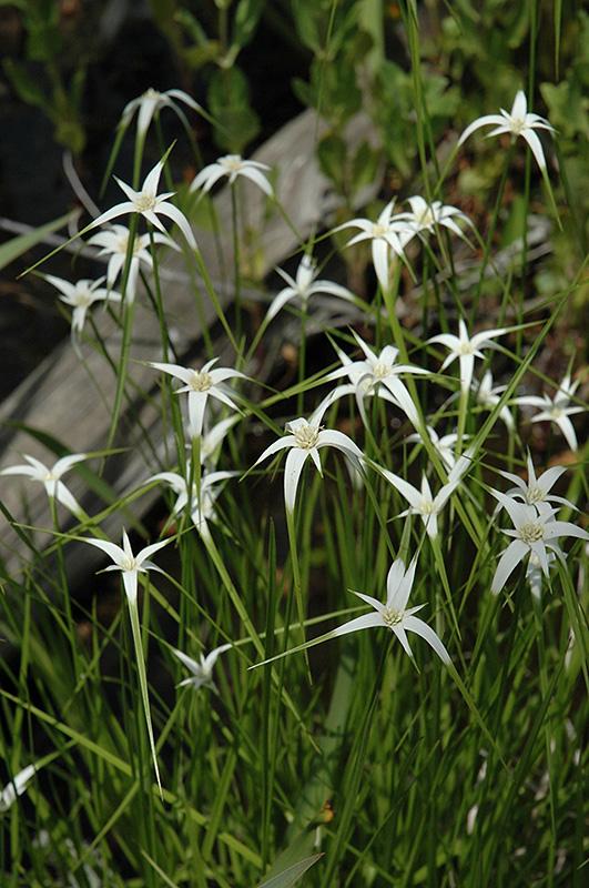 Star Rush (Rhynchospora colorata) at All Seasons Nursery