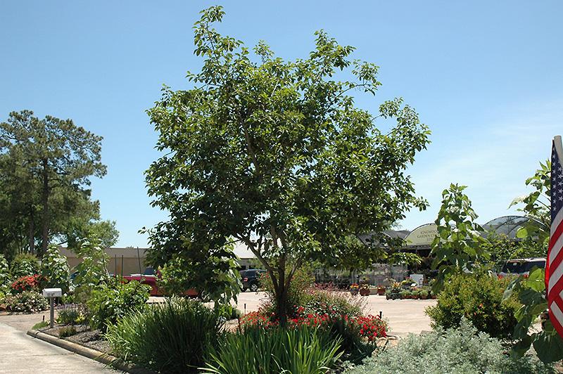 Common Persimmon (Diospyros virginiana) at All Seasons Nursery