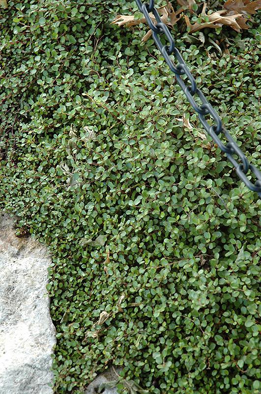 Creeping Wire Vine (Muehlenbeckia axillaris) at All Seasons Nursery