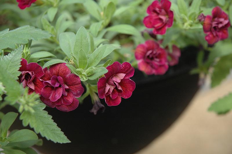 Superbells Double Plum Calibrachoa (Calibrachoa 'Superbells Double Plum') at All Seasons Nursery