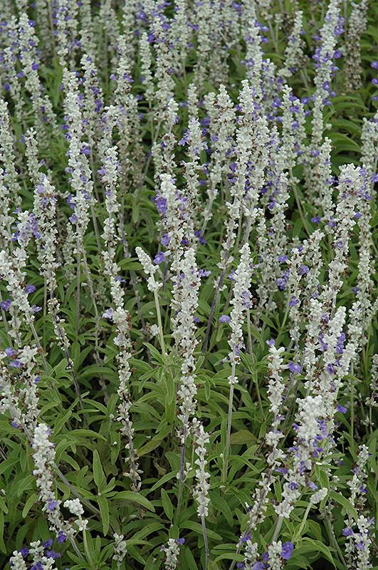 Strata Salvia (Salvia farinacea 'Strata') at All Seasons Nursery