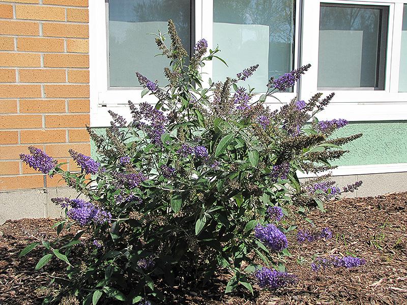 Nanho Blue Butterfly Bush (Buddleia davidii 'Nanho Blue') at All Seasons Nursery