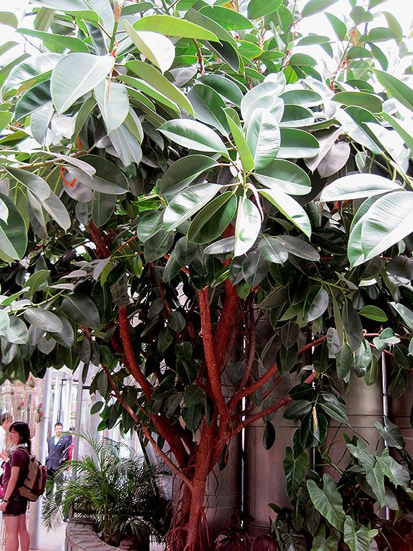 Rubber Tree (Ficus elastica) at All Seasons Nursery