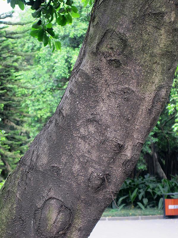 Weeping Fig (Ficus benjamina) at All Seasons Nursery