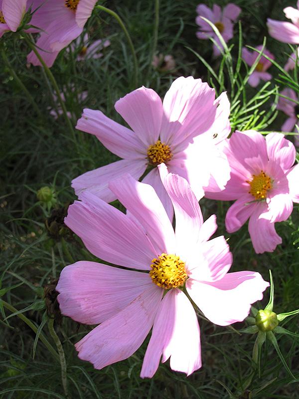 Sonata Pink Cosmos (Cosmos bipinnatus 'Sonata Pink') at All Seasons Nursery