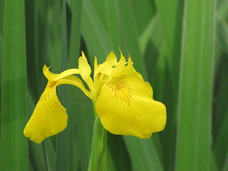 Yellow Flag Iris (Iris pseudacorus) at All Seasons Nursery