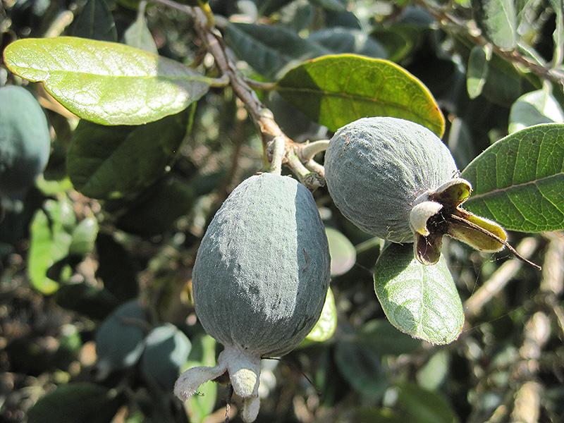 Pineapple Guava Acca Sellowiana In Lafayette Louisiana La At