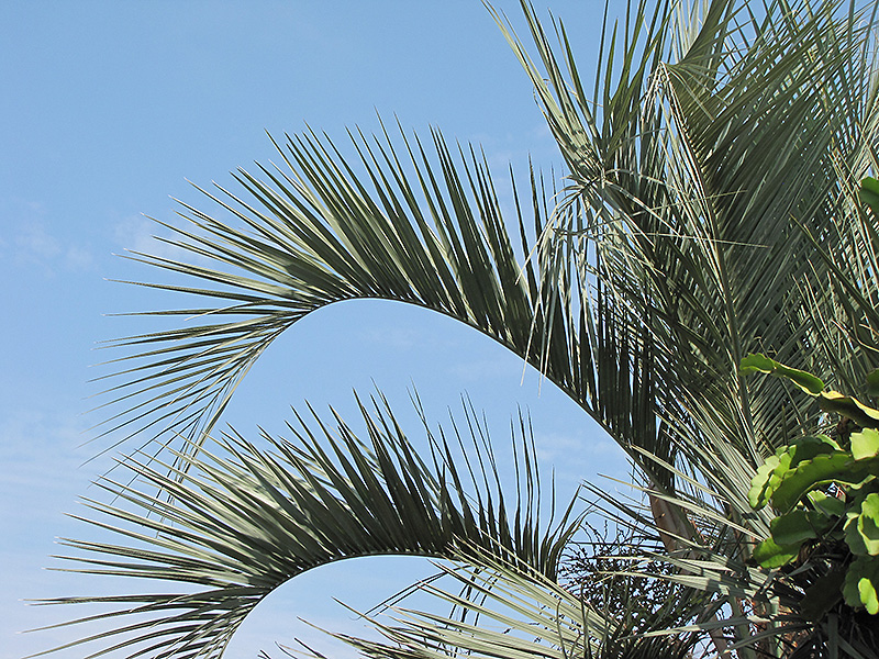 Jelly Palm (Butia capitata) at All Seasons Nursery