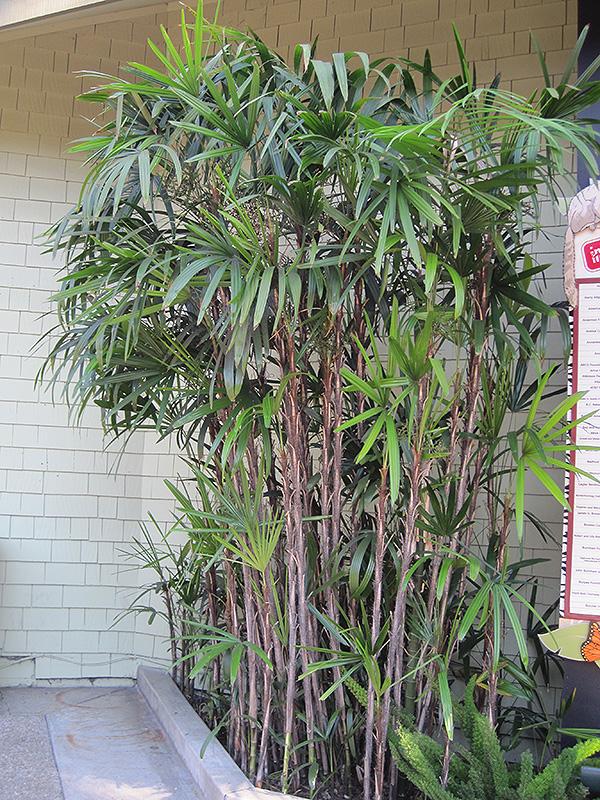 Slender Lady Palm Rhapis Humilis In Lafayette Louisiana