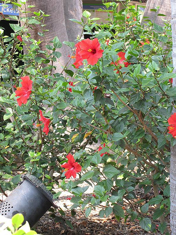 Brilliant Hibiscus (Hibiscus rosa-sinensis 'Brilliant') at All Seasons Nursery
