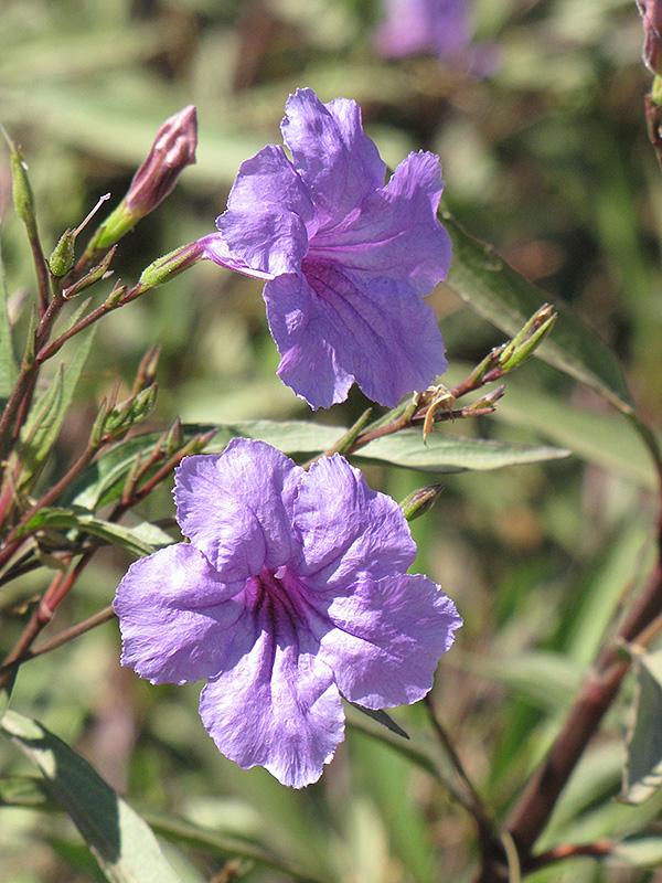 Mexican Petunia (Ruellia brittoniana) at All Seasons Nursery