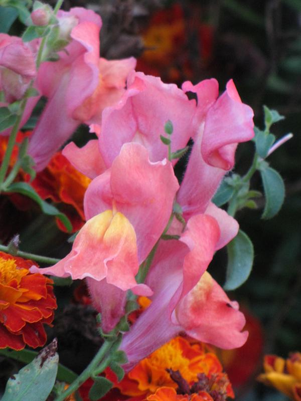 Montego Pink Snapdragon (Antirrhinum majus 'Montego Pink') at All Seasons Nursery