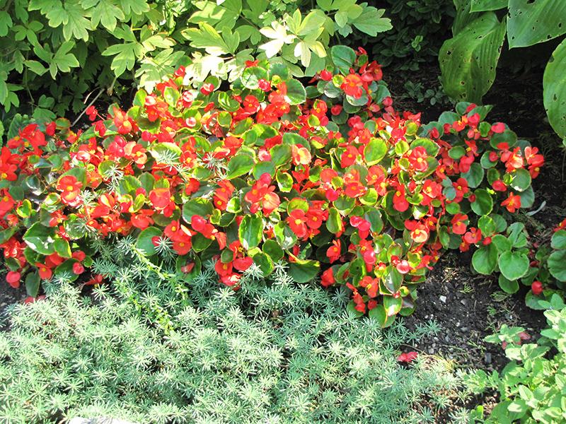 Bada Bing Scarlet Begonia (Begonia 'Bada Bing Scarlet') at All Seasons Nursery