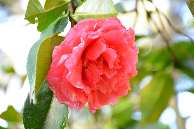 Daikagura Camellia (Camellia japonica 'Daikagura') at All Seasons Nursery