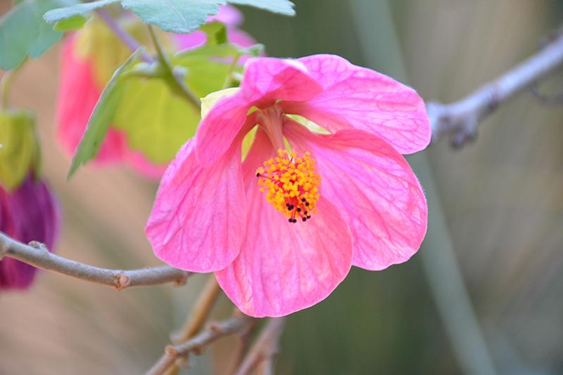 Pink Flowering Maple Abutilon Pink In Lafayette Louisiana La