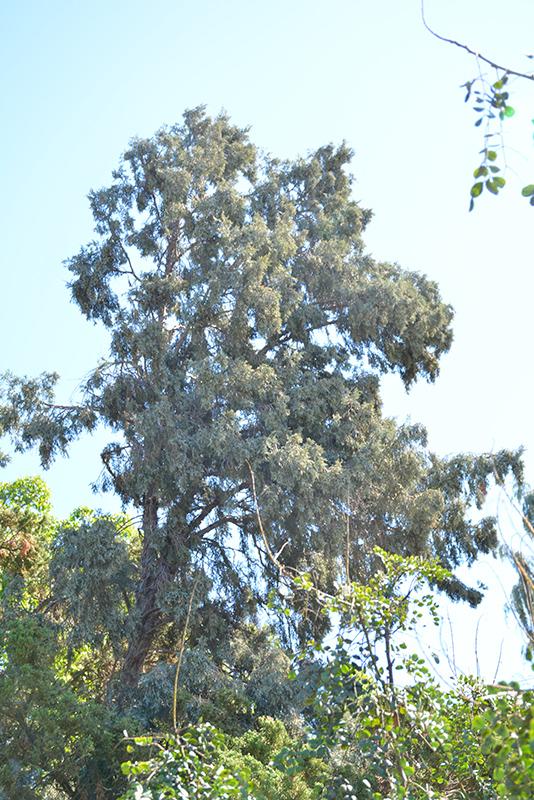 Hollywood Juniper (Juniperus chinensis 'Torulosa') at All Seasons Nursery