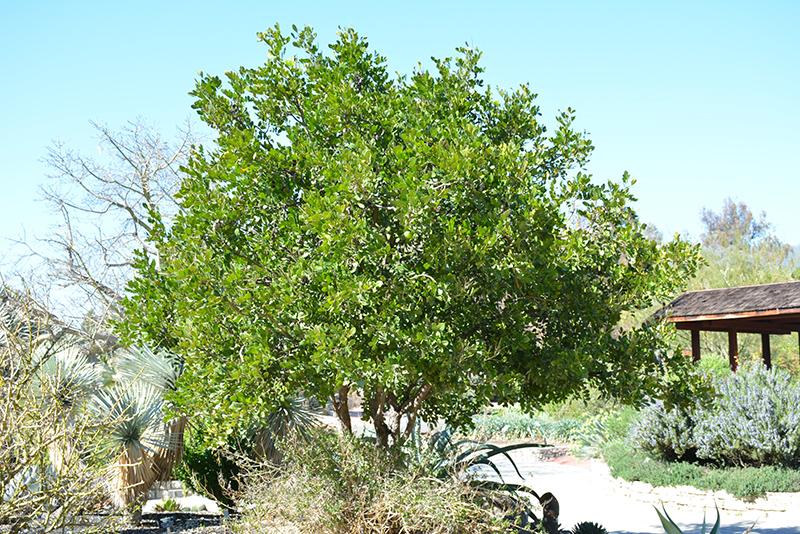 Texas Mountain Laurel Dermatophyllum Secundiflorum In Lafayette