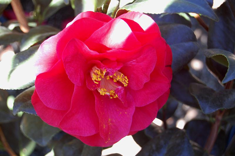 Reg Ragland Camellia (Camellia japonica 'Reg Ragland') at All Seasons Nursery