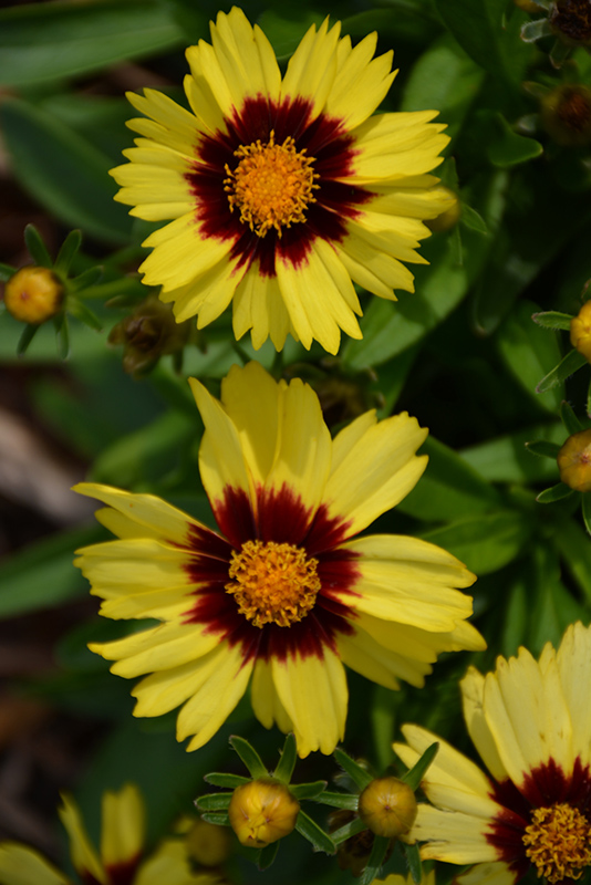 UpTick Yellow and Red Tickseed (Coreopsis 'Baluptowed') at All Seasons Nursery
