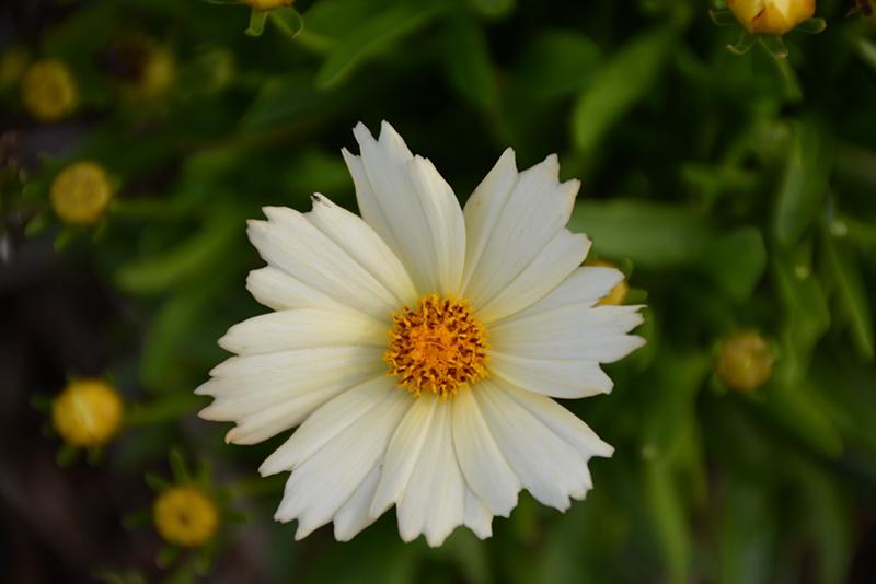 UpTick Cream Tickseed (Coreopsis 'Balupteam') at All Seasons Nursery