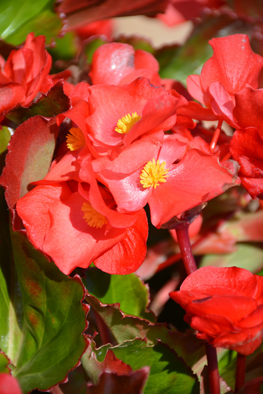 Megawatt Red Green Leaf Begonia Begonia Megawatt Red Green Leaf
