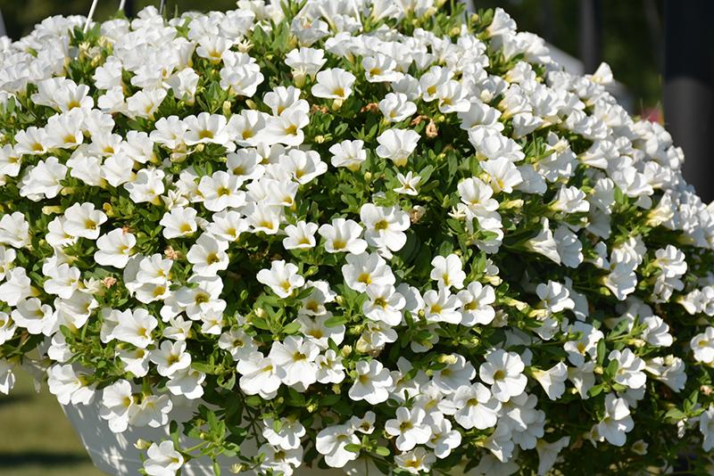 Superbells White Calibrachoa (Calibrachoa 'Balcal14141') at All Seasons Nursery
