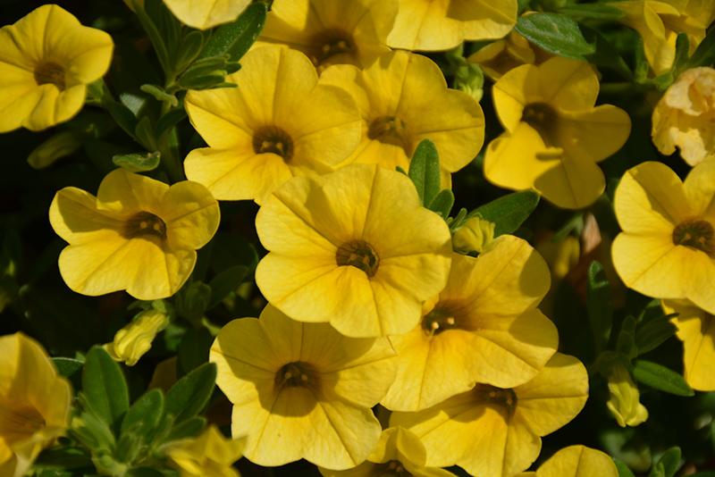 Superbells Yellow Calibrachoa (Calibrachoa 'Balcal1004') at All Seasons Nursery