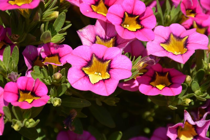 Superbells Hollywood Star Calibrachoa (Calibrachoa 'BBCAL26702') at All Seasons Nursery