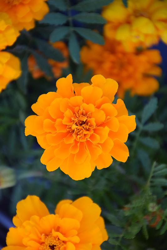 Safari Orange Marigold (Tagetes patula 'Safari Orange') at All Seasons Nursery
