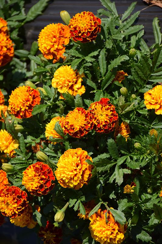 Hot Pak Spry Marigold (Tagetes patula 'PAS1077393') at All Seasons Nursery