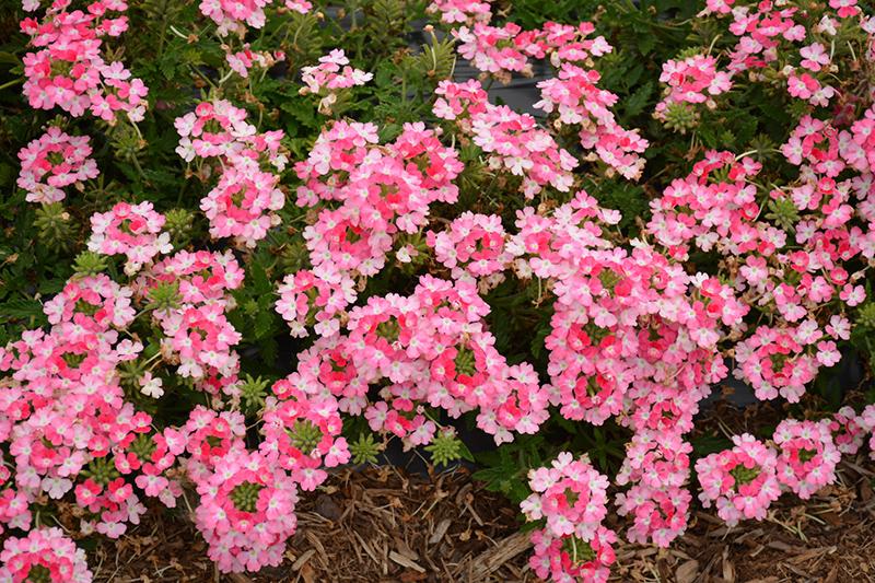 EnduraScape Pink Fizz Verbena (Verbena 'Balendinz') at All Seasons Nursery