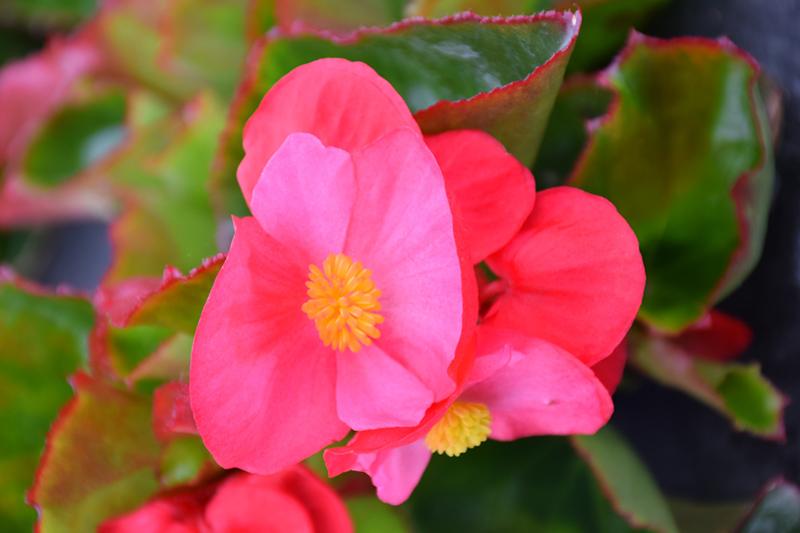Big Rose Green Leaf Begonia (Begonia 'Big Rose Green Leaf') at All Seasons Nursery