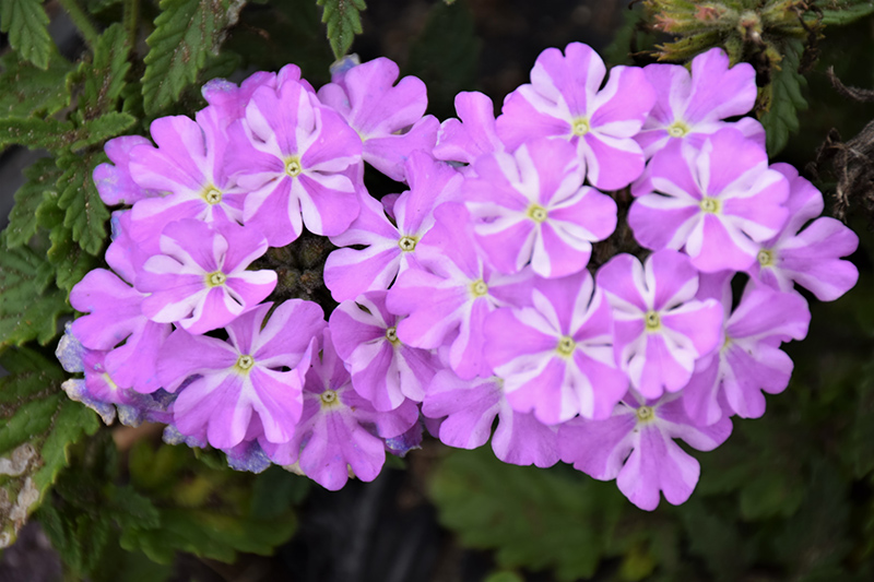 Lanai Lavender Star Verbena (Verbena 'Lanai Lavender Star') at All Seasons Nursery