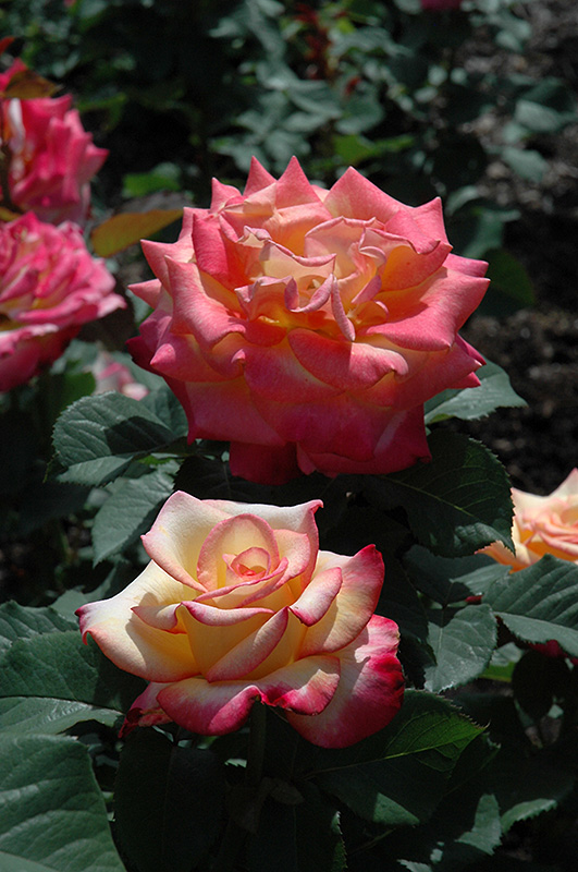 Dream Come True Rose (Rosa 'Dream Come True') at All Seasons Nursery