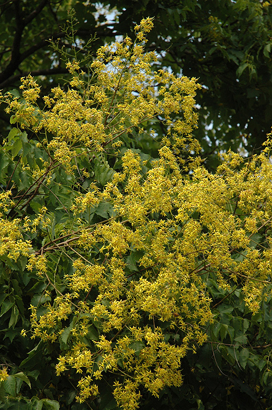 Golden Rain Tree (Koelreuteria paniculata) at All Seasons Nursery