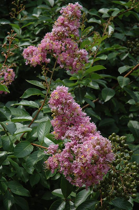Muskogee Crapemyrtle (Lagerstroemia 'Muskogee') at All Seasons Nursery